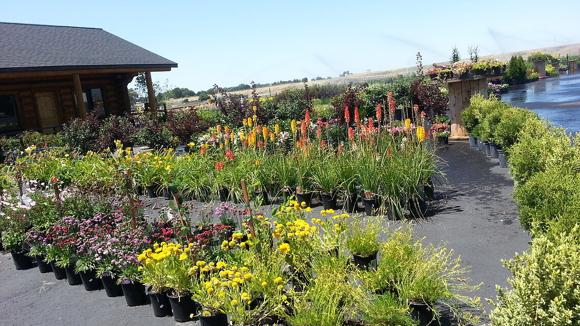 Nursery perennials & grasses at Ace Landscaping